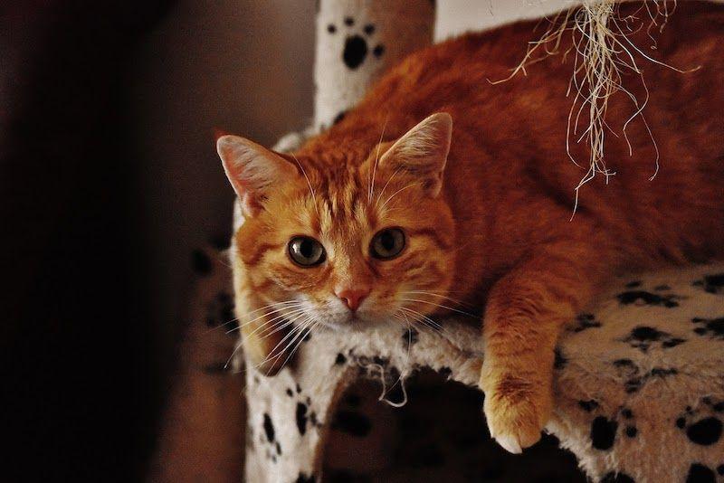 orange cat laying on playhouse
