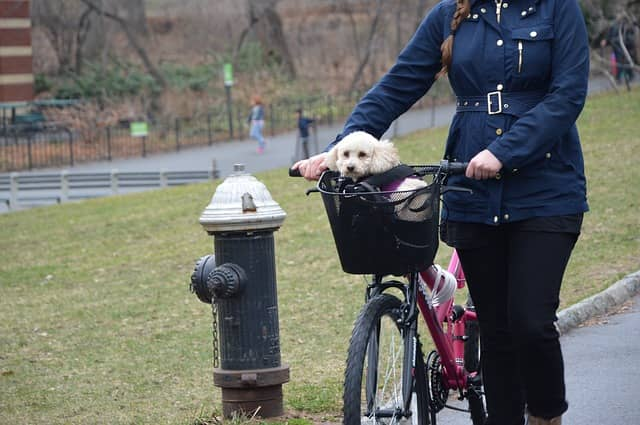 white dog riding in bike basket