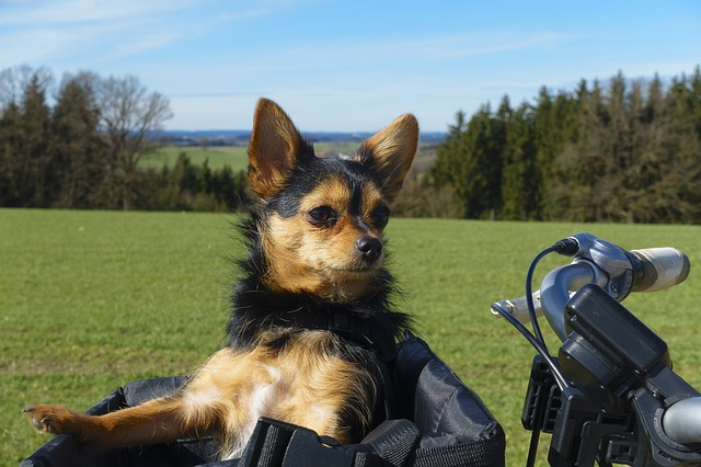 small dog riding in bike carrier
