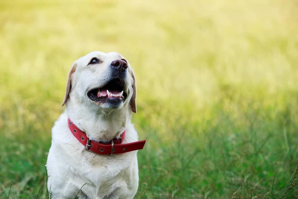 golden retriever wearing wide collar