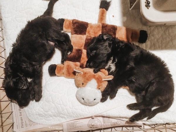 puppies sleeping in playpen