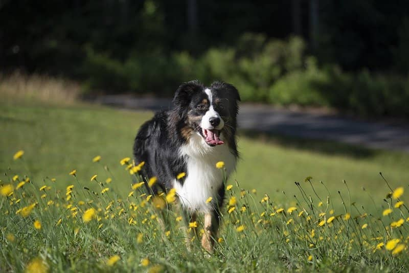 australian shepherd in a field