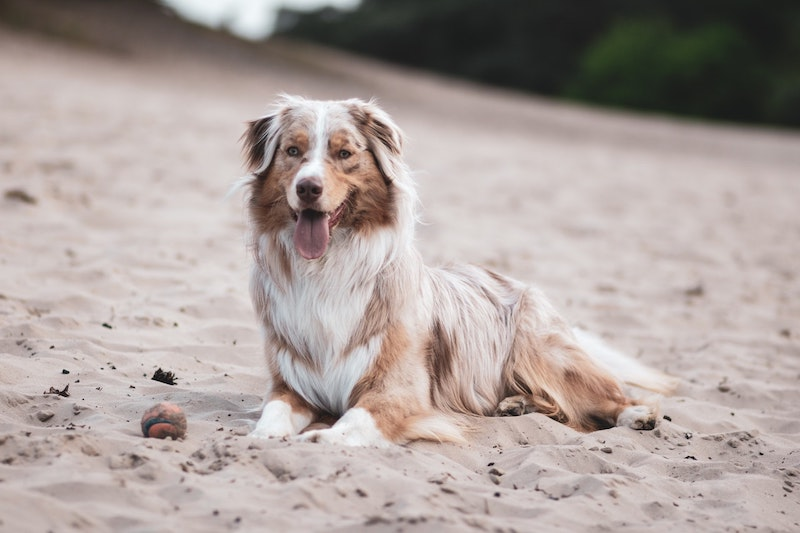 australian shepherd with a red merle coat