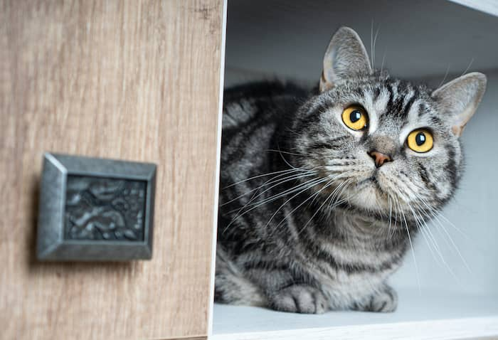 cat in cabinet